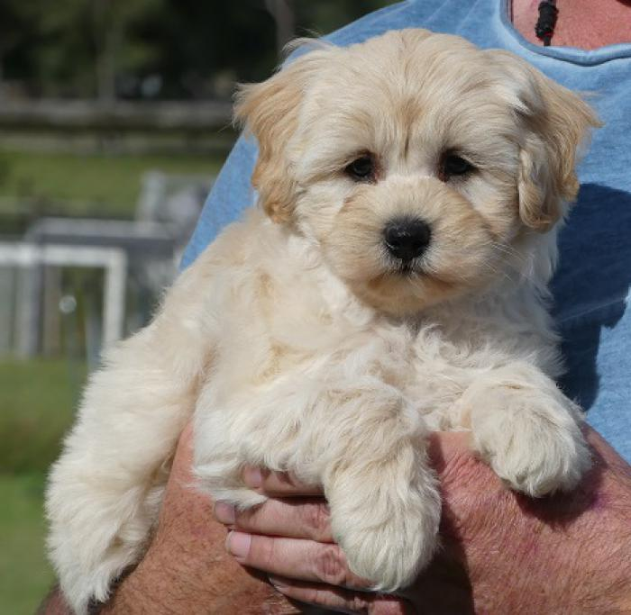Moodle puppies - Maltese x Poodle PRICE REDUCED