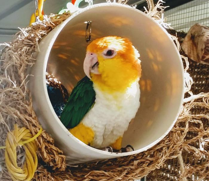 Mature male white bellied caique $2500