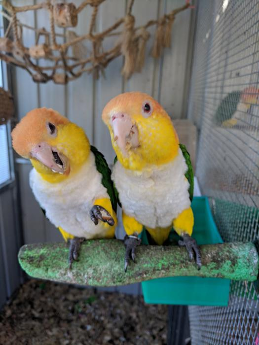 Mature pair of DNAd white bellied caiques $5000