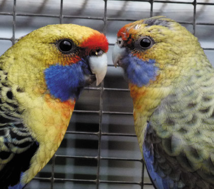 sex differences between male and female yellow rosella